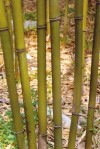 Picture 2: Pleioblastus(苦竹)